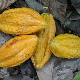 Cocoa pods.JPG
