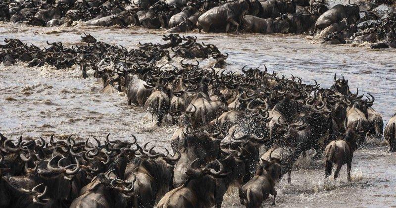 The wildebeest migration in Kenya's Maasai Mara