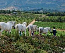 Waterkloof Wine Estate workers leading horses.